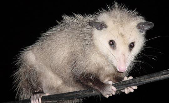 Vacice - possum